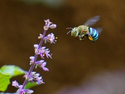 Blue-banded bee (Amegilla cingulata) in flight - on its way to collect nectar and pollen from holy basil (Ocimum sanctum) flowers.  Entomophily - Pollination by insect.