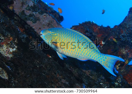Shutterstock Blue-barred parrotfish (Scarus ghobban) underwater in the tropical coral reef