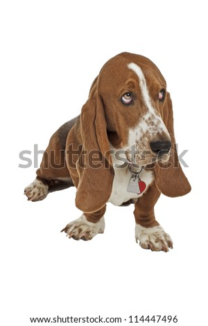 Blue basset hound puppy with dog tags sits and looks up. Isolated on white background, vertical with copy space.