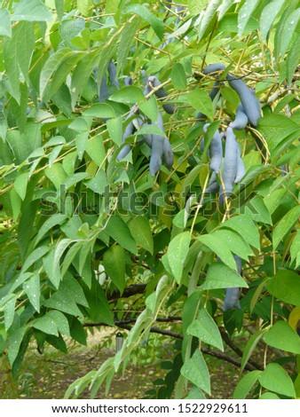 Blue bean plant (Decaisnea fargesii) fruits
