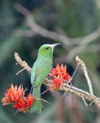 Blue-bearded bee-eater.The blue-bearded bee-eater is a species of bee-eater found in much of the Indian subcontinent and parts of Southeast Asia.