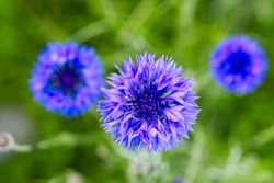 Blue bee cornflower, close up on natural background. macro photography