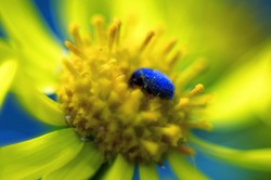 Blue beetle on a yellow flower. Macro shooting of insects.