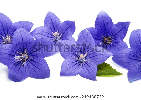 Blue bell flowers in a row on a white background ez canvas blue bell flowers in a row on a white background mightylinksfo