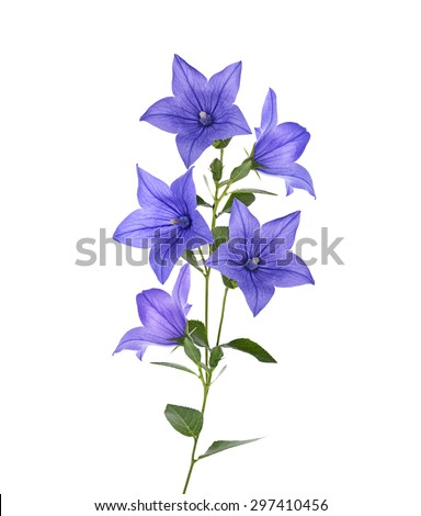 Blue Bell Flowers Isolated On White Background