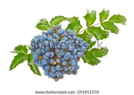 blue berries of oregon grape ...