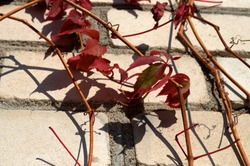 Blue berries of wild grapes in autumn against the background of the wall on which the shadow falls