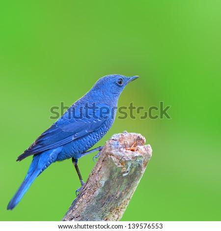 Blue Bird (Blue Rock Thrush), Bird of Thailand