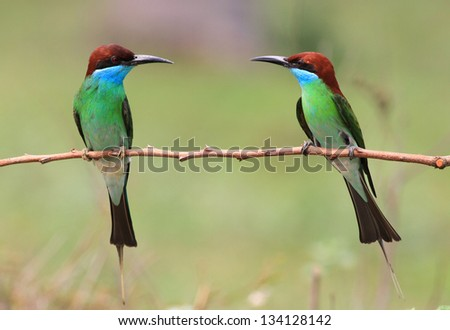 Blue bird (Blue throated Bee eater) bird feeding.