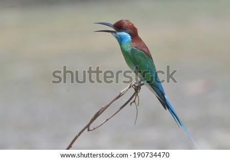 Blue bird (Blue throated Bee eater) bird of Thailand