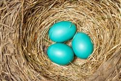 Blue bird eggs in a new nest
