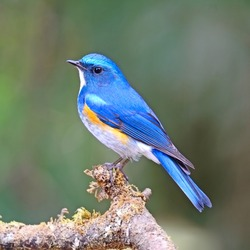 Blue bird, male Himalayan Bluetail (Tarsiger rufilatus) on a branch