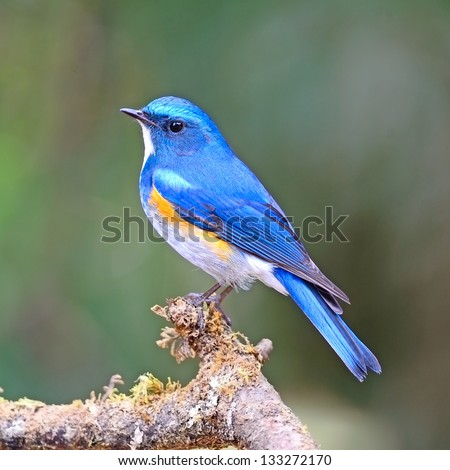 Blue bird, male Himalayan Bluetail (Tarsiger rufilatus) on a branch