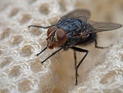 Blue blowfly, Blaue Schmeissfliege (Calliphora vomitoria)