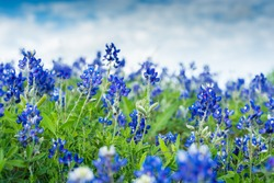 Blue Bonnet Flowers in a field. Focused on two stems