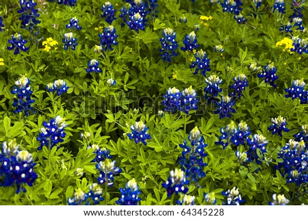 Blue bonnets can be seen on many back roads in Texas.