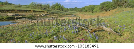 Blue bonnets in Hill Country, Texas