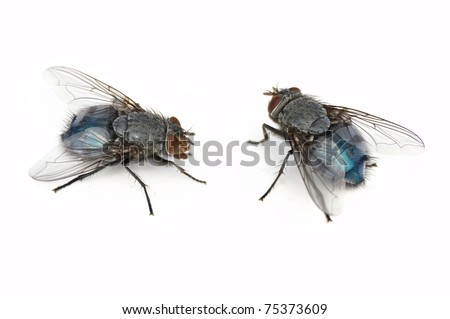 Blue Bottle Fly (female, Calliphora vomitoria, 2 positions, isolated on white)