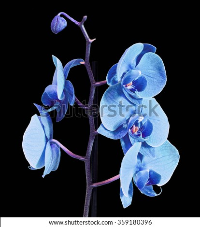 Blue branch orchid  flowers, Orchidaceae, Phalaenopsis known as the Moth Orchid, abbreviated Phal. Dark background.