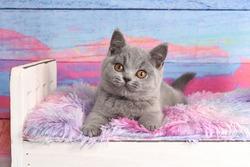 Blue British Shorthair cat, Kitten, Kitty, kittens, grey, cats