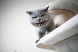 blue british shorthair cat looking down from scratching post meowing or hissing showing teeth