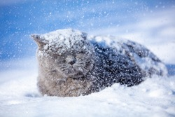 Blue British shorthair cat lying outdoors in winter. The cat is on the deep snow at blizzard