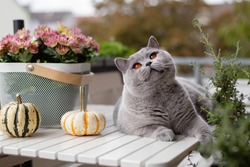 Blue British Shorthair cat on a white table with pumpkins and autumn flowers on the street, on the balcony, in the daytime.