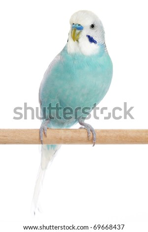 Blue Budgerigar sitting on a perch on a white background