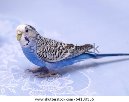 blue budgerigar  (undulatus melopsittacus) - stock photo