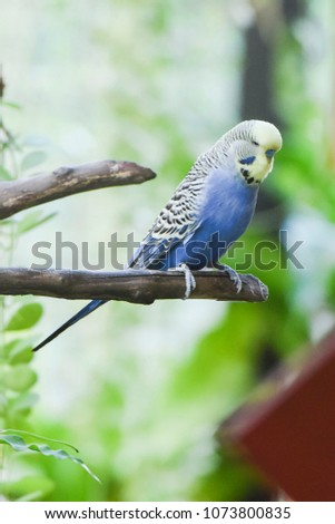 Blue Budgie Bird Standing On Branch In Aviary