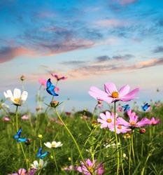 blue butterflies flying in cosmos flowers against a dusk sky