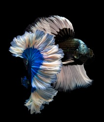 Blue butterfly fighting fish,Multi color Siamese fighting fish(Rosetail)(halfmoon),Betta splendens,on black background with clipping path