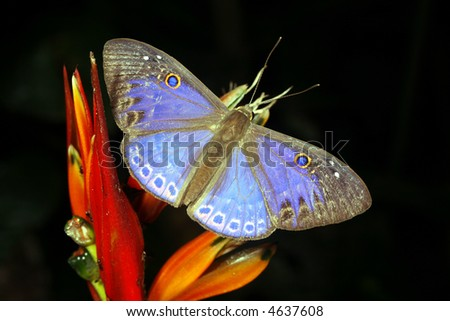 Blue butterfly in the rainforest understory