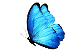 blue butterfly isolated on white. side view