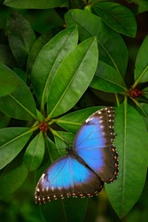 Blue butterfly, Morpho peleides, sitting on green leaves. Big butterfly in the forest. Dark green vegetation. Tropical nature in Salvador.