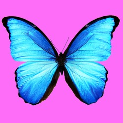 blue butterfly on a pink background. square cropping