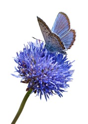 Blue butterfly on flower isolated on white background