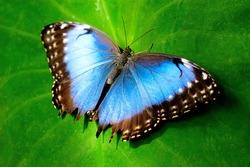 Blue Butterfly on Green Leaf