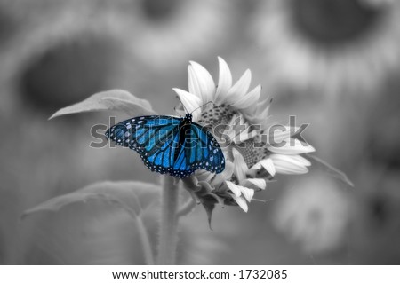 Blue Butterfly on sunflower with a soft black and white background