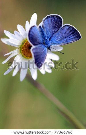 Blue butterfly on white flower