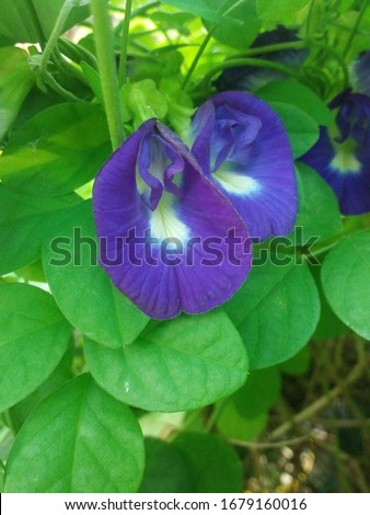 Blue butterfly pea flower or clitorial ternatea