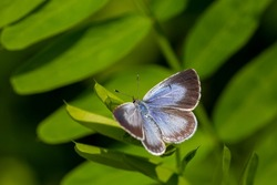 blue butterfly perched on symmetrical leaves, Celastrina argiolus