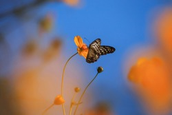 Blue butterfly with yellow cosmos flower
