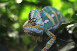 blue chameleon in the forest