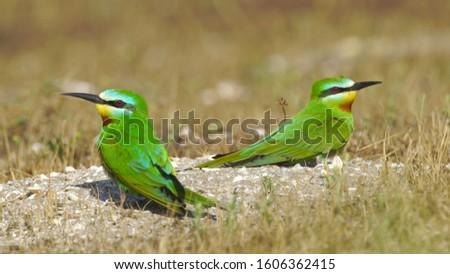 Blue-cheeked bee-eater (Merops persicus) in Azerbaijan Foto stock ©