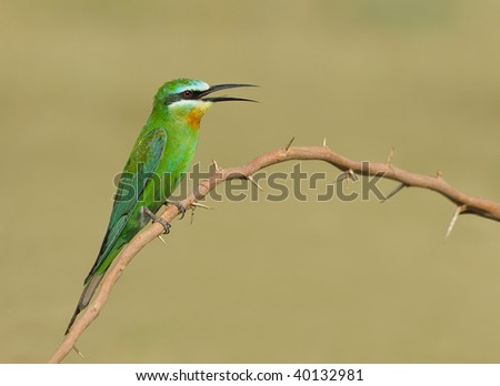 Bees Blue Blue-cheeked Bee-eater Sitting