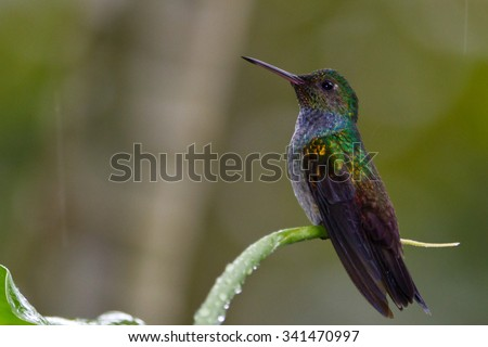 Blue-Chested Hummingbird, Amazilia amabilis, perched #341470997