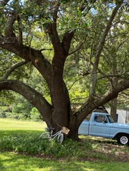 Blue Chevy vintage truck large canopy tree bicycle leaning against tree southern town