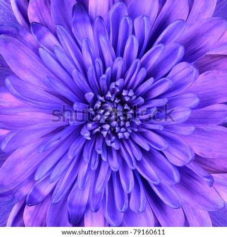 Blue Chrysanthemum Flower Head Closeup Detail