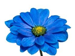 blue chrysanthemum  flower isolated on white background